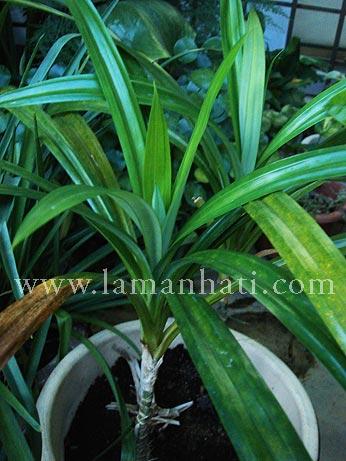 pandanplant.jpg
