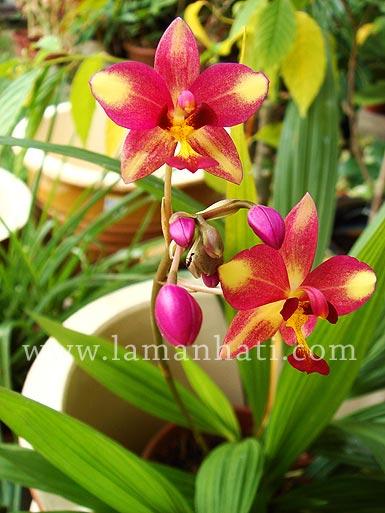 orchidtropical.jpg