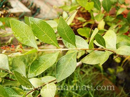 Plant A Henna Tree Laman Hati