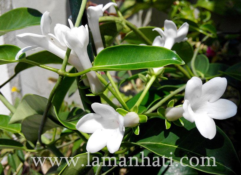 madagascar-jasmine-LH