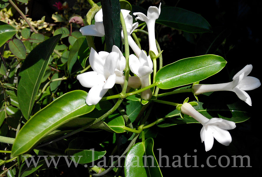 madagascar-jasmine-june2015-LH