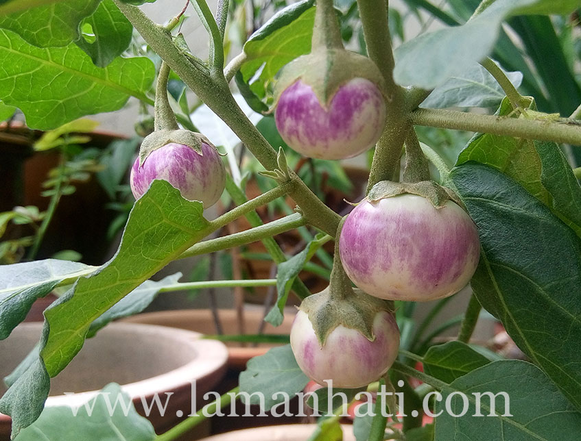 thai-lavender-frog-egg-eggplant
