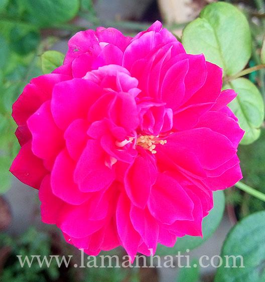 rouge-royale-rose-LH1