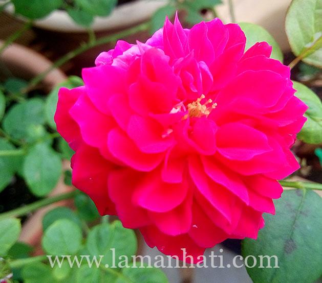 rouge-royale-rose-LH2