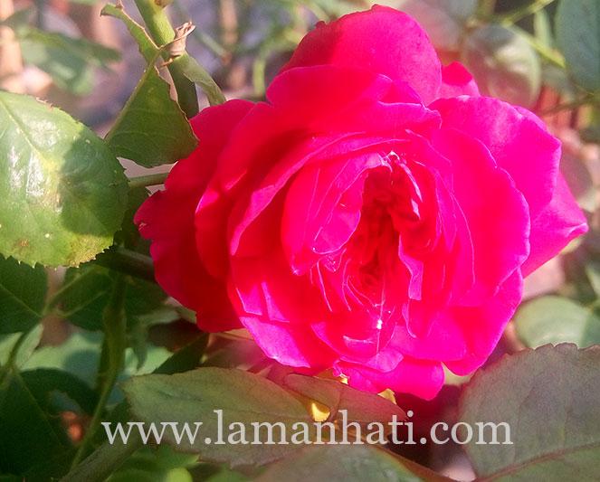 rouge-royale-rose-LH3